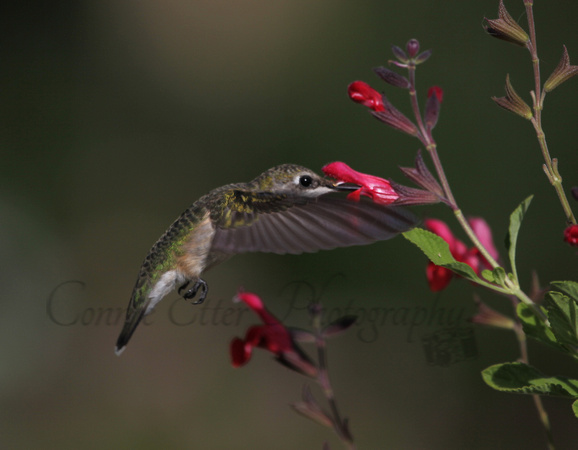 Hummingbird with salvia