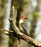 PROFILE - RED BELLIED WOODPECKER